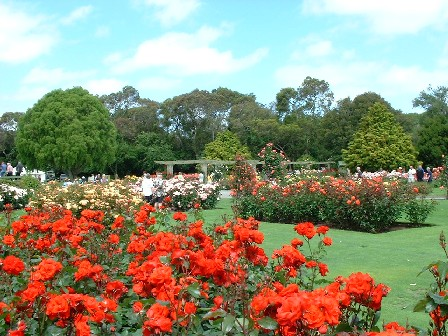 'Satchmo' is the name of the rose featured at the front of this picture. The award-winning Rose Garden, at Victoria Esplanade, Palmerston North, Manawatu, New Zealand - 7 December 2003
